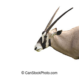 Oryx - An oryz head isolated