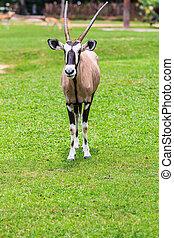 (oryx, antílope, gemsbok, gazella)