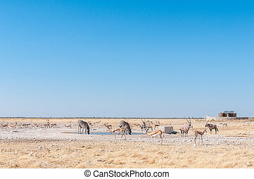 Oryx, Burchells zebras and springboks at a waterhole