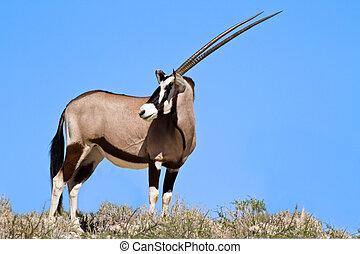 oryx, desierto, pasto