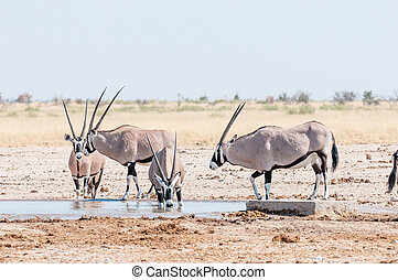 Oryx drinking water at a waterhole in Northern Namibia