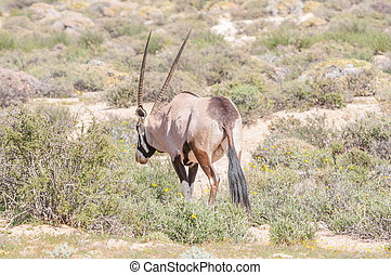 Oryx eating a flower