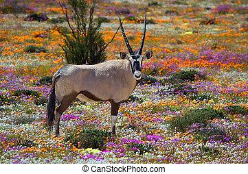 oryx, flores, entre