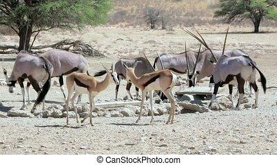 Oryx gazella and springbok - herd of Gemsbok, Oryx gazella...