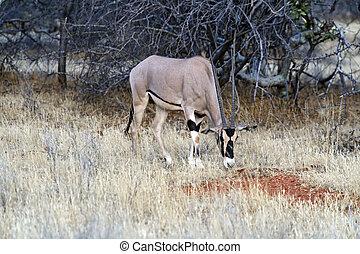 oryx, gazella