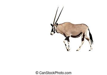 oryx, gazella, gemsbok