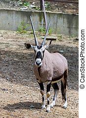 oryx, gemsbok, o, zoo, gazella