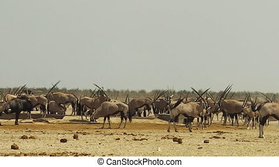oryx herd in Namibia