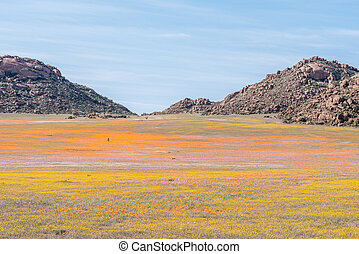 Oryx in carpet of flowers in Goegap Nature Reserve