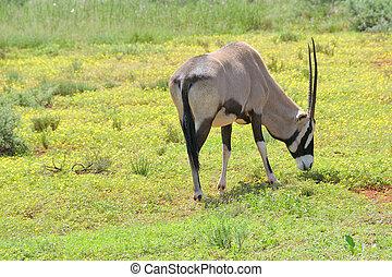 Oryx in flowers