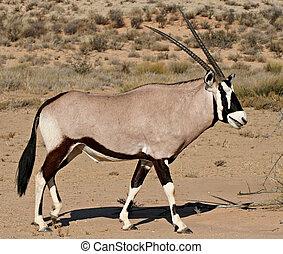 oryx in kalahari desert - side view of oryx antelope in...