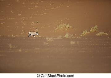 Oryx in sand dunes