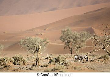 Oryx in sand dunes.