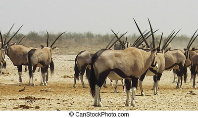 wildlife oryxes at water pool in Namibian savannah of Etosha National Park, Namibia, Africa.