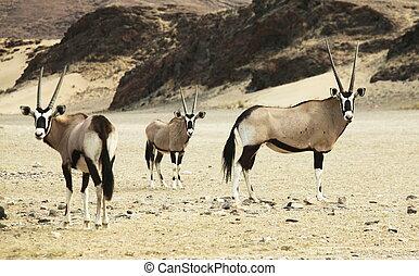 Oryx - oryx in Namibian desert