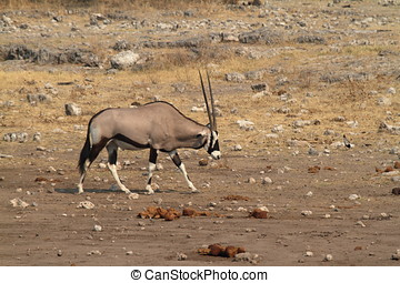 oryx, savanne, antilope