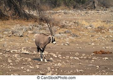 oryx, savanne, antilope