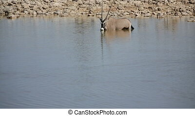 Oryx - Front view of oryx drinking water and Springboks in...