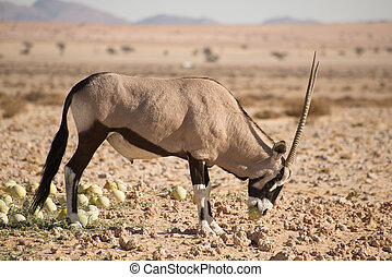 Oryx with desert melon in mouth.