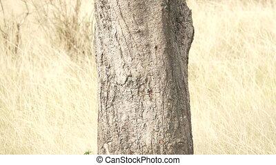 orzeł, powolny, potrząsanie, drzewo, ruch, za, wspaniały, ...