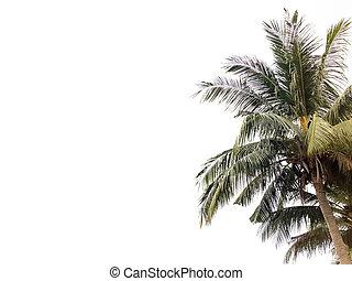 orzech kokosowy, biały, drzewo, odizolowany, tło