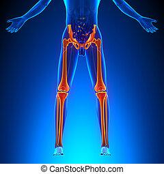 os, anatomie, jambes