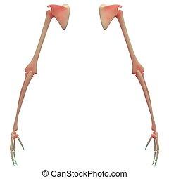 os, anatomie, main humaine