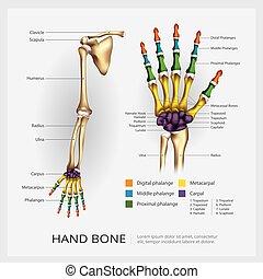 os, main, bras, vecteur, illustration