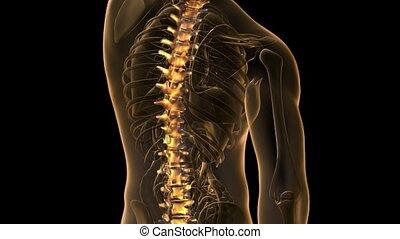 os, spinal, humain, balayage
