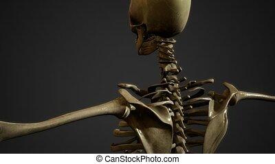 os, squelette humain