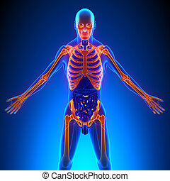 os, supérieur, anatomie, squelette