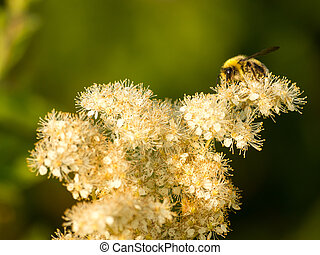 osa, kwiat, sypki