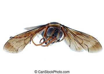 osa, owad, pszczoła