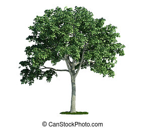 osamocený, strom, oproti neposkvrněný, jilm, (ulmus)