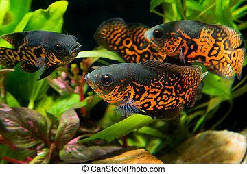 Oscar fish (Astronotus ocellatus) - huge cichlid close up...