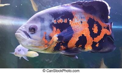 Oscar fish - Astronotus ocellatus - Oscar fish in...