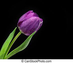 oscuridad, flor, púrpura, agua, tulipán, fondo negro, gotas