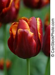 oscuridad, tulipán, rojo