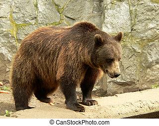 oso, marrón