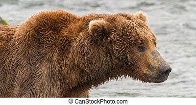 oso pardo, alaska, oso, parque, katmai, retrato, nacional