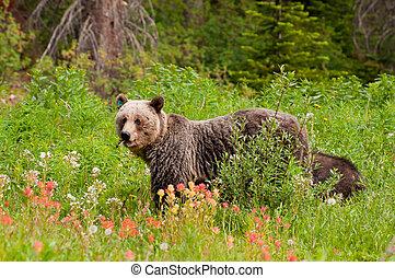 oso pardo, alimentación