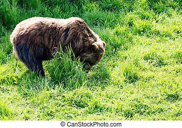 Oso pardo, alimentación, oso