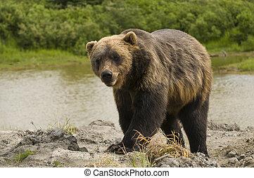 oso pardo, corriente