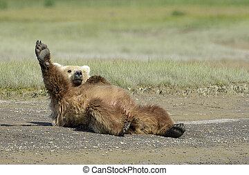 oso pardo, extensión, playa, acostado, oso