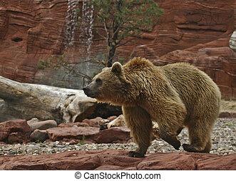 oso pardo, paso
