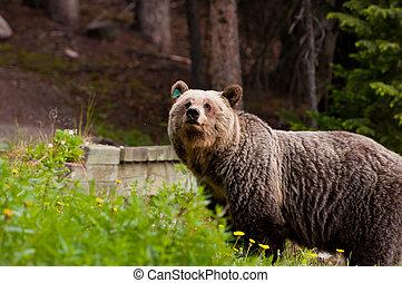 oso pardo, primer plano, oso