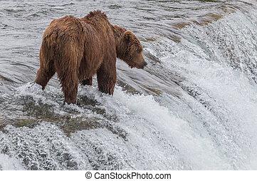 oso pardo, salmón, alaska, oso, parque, esperar, bajas, ...