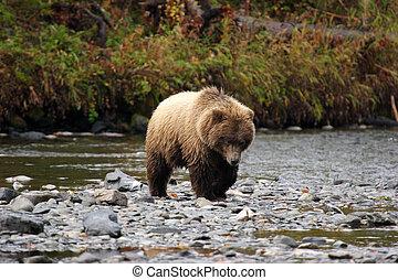 oso pardo, se acercar