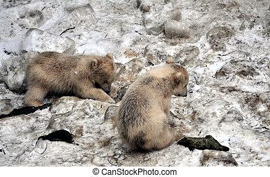 oso polar, cachorro