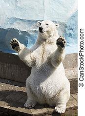 oso polar, sentado, en, su, piernas traseras